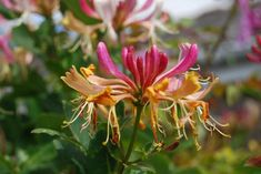 Deze bloemen en planten houden van veel zon - Libelle Clusia, Echeveria, Honeysuckle Plant, Trachelospermum Jasminoides, Expensive Perfume, Lovely Perfume, Invasive Plants, Cold Home Remedies, Plant Images