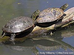 Painted Turtle  Vermont designated the painted turtle as official state reptile…
