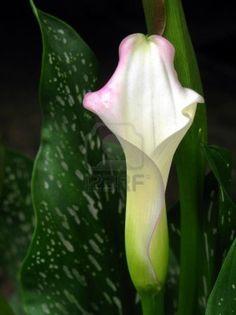 white-crystal-bush-calla-lily-wedding-flower-with-artistic-pink-edges.jpg