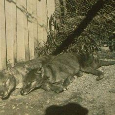 131 best thylacine images on pinterest tasmanian tiger extinct