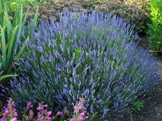 lavandula hidcote blue english lavender, photo courtesy of wwgreenhouses.com