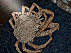 krab w błysku soczewki(promień słońca)