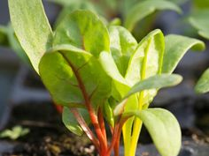 The easiest crops to grow year-round, microgreens and cress can be grown in small pots or trays indoors. Follow these steps from HGTV Gardens.