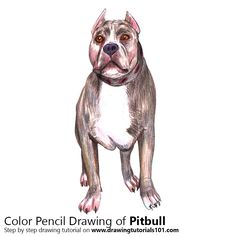Pitbull with Color Pencils [Time Lapse]