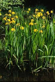 Iris pseudacorus - Marginals