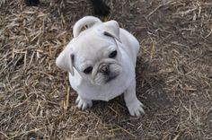 """Explore our website for additional details on """"black pug puppies"""". It is actually an outstanding place to find out more. Pug Puppies For Sale, Black Pug Puppies, Chug Puppies, Pug Pictures, Pug Pics, Baby Animals, Cute Animals, Pugs And Kisses, Baby Pugs"""
