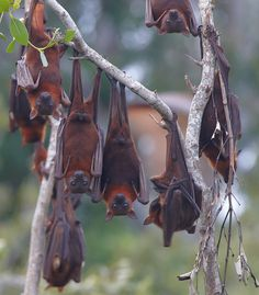 "sweet ""flying foxes"" bats"