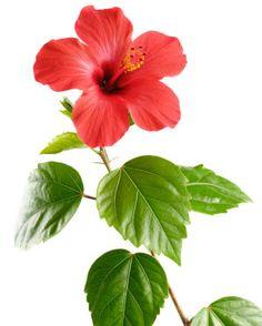 Kiinanruusu hoito. Katso kiinanruusun hoito-ohjeet ja kasvatusvinkit.