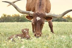 Cows For Sale, Cattle For Sale, Longhorn Cow, Longhorn Cattle, Calves For Sale, Texas Longhorns, Oklahoma Sooners, Cow Photos, Pictures