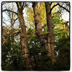 Mahtavat Tsaarin poppelit Varikonniemessä #Hämeenlinna Finland, Instagram Posts, Plants, Plant, Planets