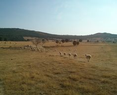 La gestión de las ovejas churras por lotes en verano http://www.lechazocharro.es/la-gestion-de-las-ovejas-churras-por-lotes/