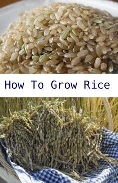 How To Grow Rice In Your Garden.