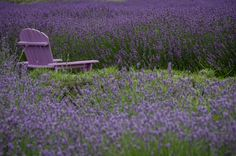 Lavender by the Bay in East Marion, Long Island ~ Text and Photography ©GothamGirl 2009 - 2013
