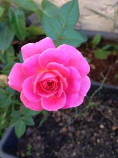 Mini Rosa