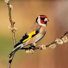 The European Goldfinch or Goldfinch, is a small passerine bird in the finch family. Wikipedia
