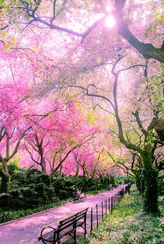 Awesome Places to See Google+ - Central Park, New York City. Pink flowered trees