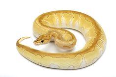 Lesser Clown Ball Python. beautiful, caramel, yellow, white, Python Regius, snake, exotic animal, reptile