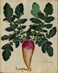 Botanical - Turnip - Italian