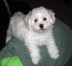 """Bichon Frise affectionate bundles of love! Known as the """"curly lap dog""""."""