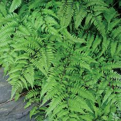 Branford Rambler Japanese Painted Fern: We all have it -- a patch of garden soil that never dries out and, at the first hint of rain, pools water. These boggy places can be frustrating, which is why Japanese Painted Fern 'Branford Rambler' is such a pleasure. Given consistently moist or even wet soil, it thrives for many years, spreading without invading, to form a lush oasis of deep green streaked with maroon in your shade garden.