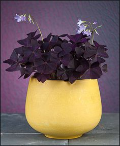 Oxalis Triangularis in a California Sunshine Cachepot Indoor Flower Pots, Indoor Plants, Oxalis Triangularis, Greenhouses For Sale, Cheap Greenhouse, Best Led Grow Lights, Tent Sale, Plant Lighting, Grow Tent