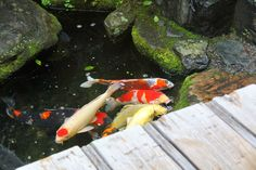 Food & travel observations - mainly in Kyoto, Japan and Australia by food author Jane Lawson Small Restaurants, Koi, Carp, Goldfish, Tours, Garden, Nature, Garten, Naturaleza