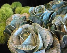 Ruffly Cabbage Blooms & Irish Moss ~ Original Colour Photograph by Suzanne MacCrone