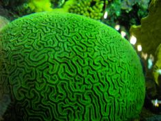 Fluorescent coral | This coral's green fluorescence may some day color brain cells as they ...