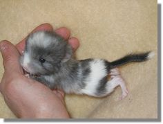 A baby chinchilla! Adorable!  I can't believe Baby Fable used to be so teensy tiny!