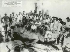 And behind the worlds largest shark lies my people, well let me rephrase that, they sit.  This shark was shockingly caught by the shoreline of Cuba in 1942. It measured an incredible 21 feet in length and weighed nearly 7,000 plump pounds. That is one big fish.