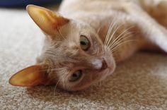 カメラを向けると、「何撮ってるの?」といった表情の我が家の猫、ランちゃん。 人間で言うと還暦ぐらいの 11 才です。