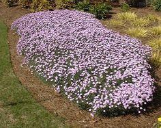 Dianthus Baths Pink