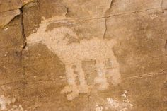 Bighorn sheep ~ Yampa River in Dinosaur National Monument