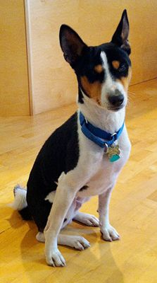 Adopt This Basenji From BRAT. We don't know a lot about Loki, but can see that he has a very sweet disposition and lots of potential. We do know Loki has had at least two homes, possibly more. The last one surrendered him to a shelter after having him for a month. Probably because they were not prepared for a Basenji...
