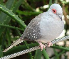 Tórtola Diamante http://www.mascotadomestica.com/especies-de-aves/tortola-diamante.html
