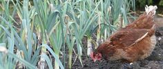 Chicken Friendly Plants - plants your chickens won't eat in the garden. This was very helpful