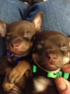 Chihuahua puppies ♥ little puppy dogs