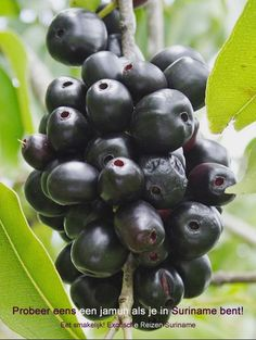 Fruit in Suriname - Jamun/Jamoe