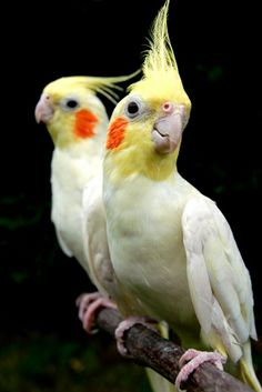 cockatiels | cockatiels....looks like my sunny and dani