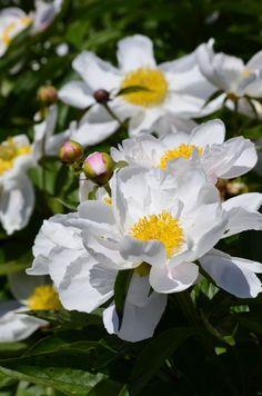 Paeonia lactiflora. Asiatische Pfingstrose.