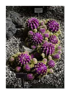 Purple succulents