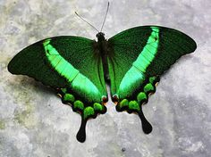 Lepidoptera Lovers: Butterfly Kisses | Page 20 | US Message Board ...