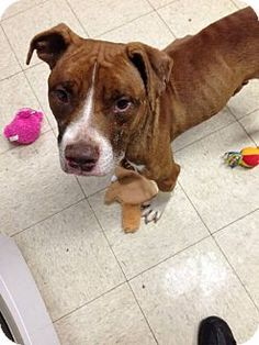 Cleveland, OH - Pit Bull Terrier Mix. Meet Hokey Pokey-Urgent!!, a dog for adoption. http://www.adoptapet.com/pet/11710376-cleveland-ohio-pit-bull-terrier-mix