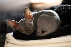 54 best sphynx images in 2019  sphynx sphynx cat