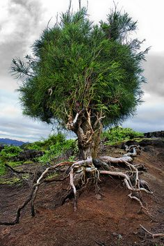 Walking Tree by Albino ©, via Flickr