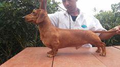 Dijual Anjing Dachshund, For Sale Miniature #dachshund Import, Lokasi: Bogor, Minat Hub.: 087788109755,  No. Iklan: 1813, Informasi lebih detil silakan kunjungi iklan pada link di bawah ini. www.pettoto.com/for-sale-miniature-dachshund-import-bogor