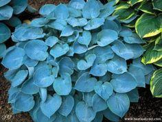 3 Hosta Hadspen Blue Plants ex Pot Blue Plants, Hosta Plants, Shade Plants, Garden Shrubs, Shade Garden, Garden Plants, Patio Plants, Blue Hosta, Hosta Varieties