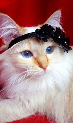 Mina-Belle, our birman cat model #yummypets