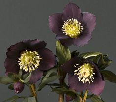 Jouluruusu 'Lucy Black'. Kasvutapa kokonaisuudessaan on mukavan kompakti.Sen ensimmäiset kukkanuput kehittyvät jo lumen alla ja avautuvut heti ensimmäisten lämpimien päivien innoittamana. 'Lucy Black' antaa väriä keväiseen puutarhaan. Vielä kukinnan loputtua ja siemenkotien ilmestyessä kasvi säilyttää värikkyytensä ja koristeellisuutensa!Istuta 'Lucy Black' suojaisaan, puolivarjoiseen kasvupaikkaan. Muutamassa vuodessa kasvi yltää läpimitaltaan 30-40cm mättääksi. Garden, Plants, Black Floral, Nature, Blossom, Landscape, Succulents, Black Garden, Flowers