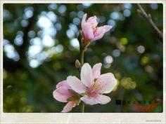 My Grey Skies: Cerejeira em Flor